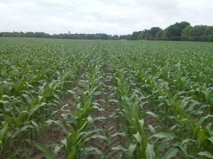 Corn 43 days after planting