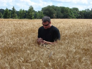 B&L Farms Co-owner Tamos Sapp examines wheat grains during 2013 wheat harvest