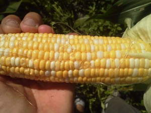 Stink bug damage of bi-color sweet corn