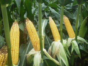 Corn in the area is past dent stage and harvest should start around July 4.