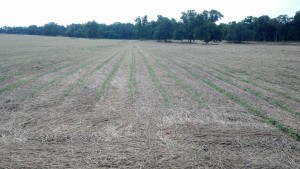 No-till twin row soybeans planted in June after rye harvest