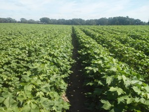 This Phytogen 499 was going to receive the second application of PGR.
