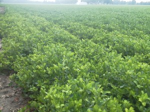 An untreated corner of a peanut field with Three Corner Alfalfa Hopper symptoms. The field was treated previously and the corner was missed.