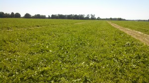 Field of North Florida grown watermelons