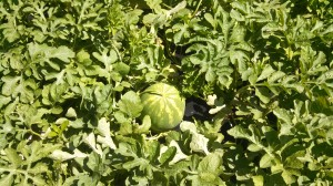 North Florida watermelons nearly ready for harvesting