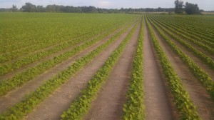 Soybeans in North Florida