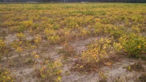 Field of root knot nematode damaged soybeans
