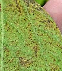 asian-soybean-rust