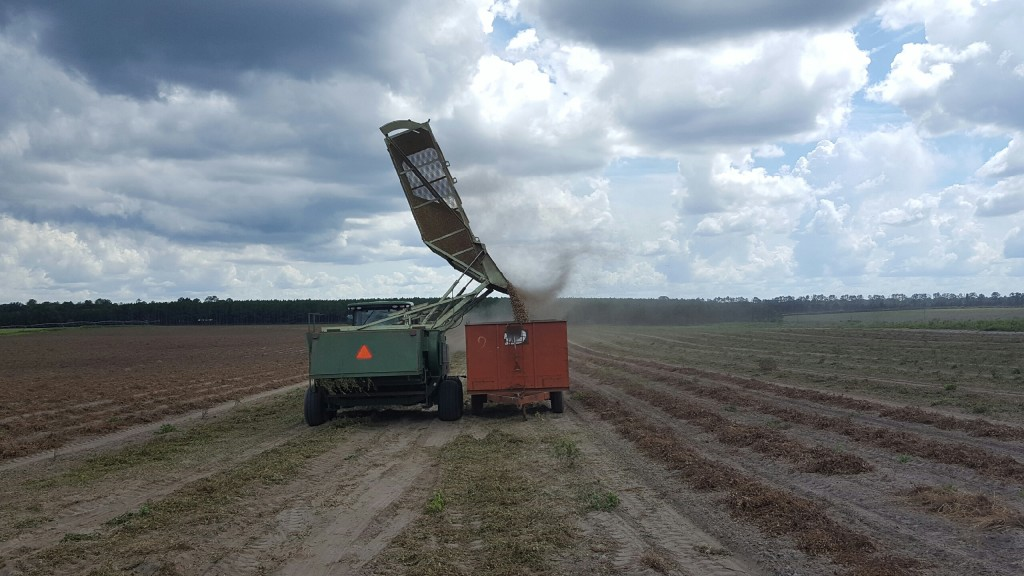 Favorable September weather has led to good peanut harvesting conditions in Columbia County. A peanut combine dumps harvested peanuts into a wagon at the I.C. Terry Farm.